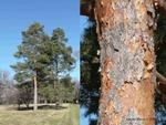 <em>Pinus sylvestris</em> Special ID Features by Julia Fitzpatrick-Cooper