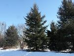 <em>Pseudotsuga menziesii</em> Winter Interest by Julia Fitzpatrick-Cooper