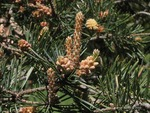 <em>Pinus</em> (pine), <em>Picea</em> (spruce), <em>Abies</em> (fir) Pinaceae characteristics by Julia Fitzpatrick-Cooper