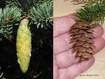 <em>Picea</em> (spruce) Cone by Julia Fitzpatrick-Cooper