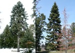 <em>Picea</em> (spruce), <em>Abies</em> (fir) Whole Plant/Habit