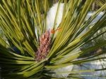 <em>Pinus</em> (pine) Bud by Julia Fitzpatrick-Cooper