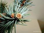 <em>Picea</em> (spruce) Bud by Julia Fitzpatrick-Cooper