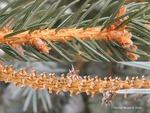 <em>Picea</em> (spruce) Leaf Number/Attachment