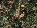 <em>Pinus</em> (pine), <em>Picea</em> (spruce), <em>Abies</em> (fir) Pinaceae characteristics