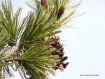 <em>Pinus</em> (pine), <em>Picea</em> (spruce), <em>Abies</em> (fir) Cone