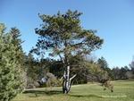 <em>Pinus</em> (pine) Whole Plant/Habit