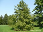 <em>Taxodium distichum</em> Whole Plant/Habit by Julia Fitzpatrick-Cooper