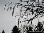 <em>Taxodium distichum</em> Branch/Twig