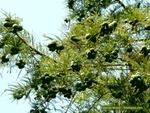 <em>Taxodium distichum</em> Cone