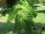 <em>Taxodium distichum</em> Leaf/Leaf Attachment