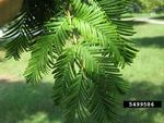 <em>Taxodium distichum</em> Leaf/Leaf Attachment