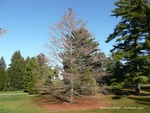 <em>Taxodium distichum</em> Winter Interest