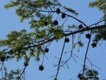<em>Tsuga canadensis</em> Branch/Twig