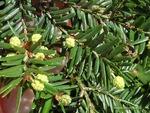 <em>Tsuga canadensis</em> Flower